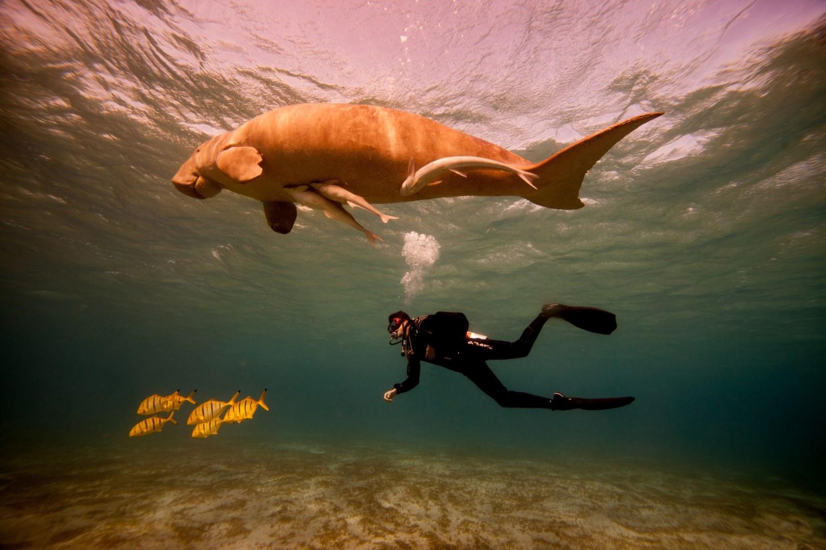 Doejong (Dugong dugon)