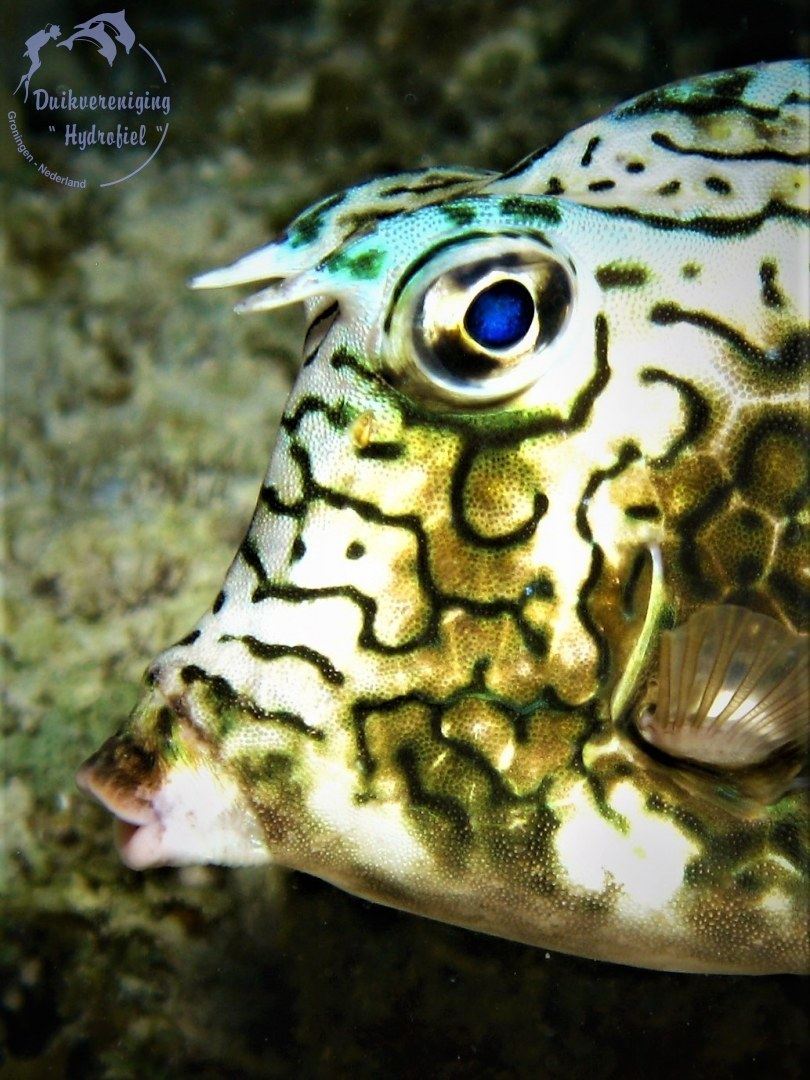 Honingraat koffervis (Acanthostracion polygonius) 2016 Bonaire
