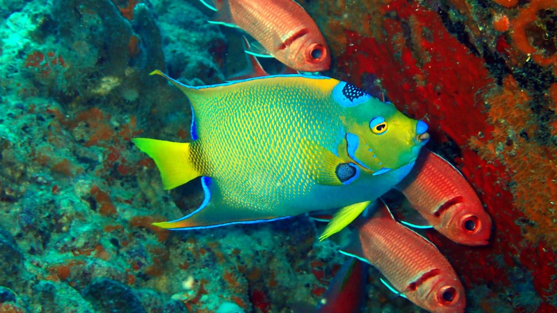 gekroonde keizers vis