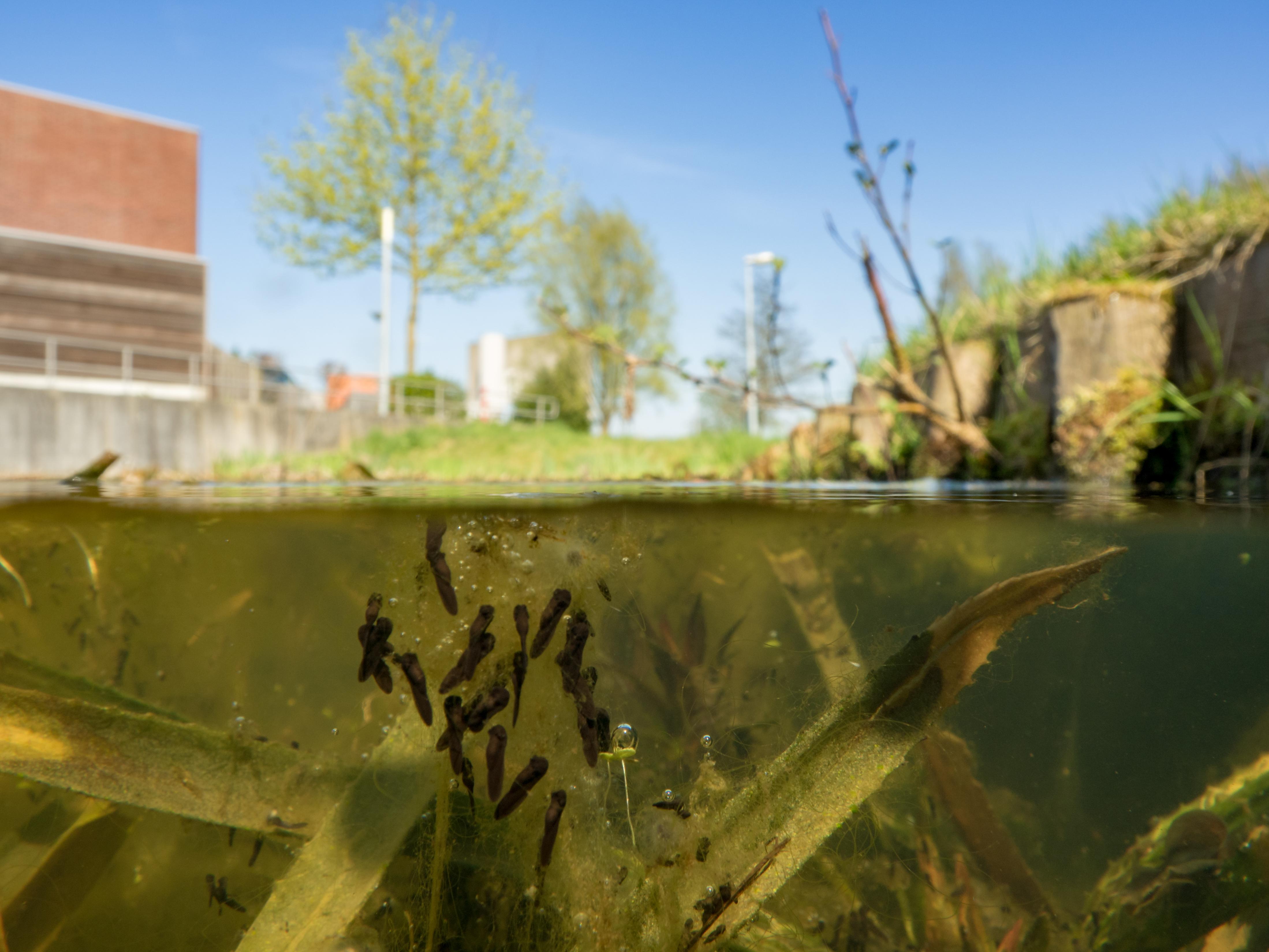 2018_Groningen_Zuid_Hoornsemeer_Winterpad-Paddnestrengen-visjes