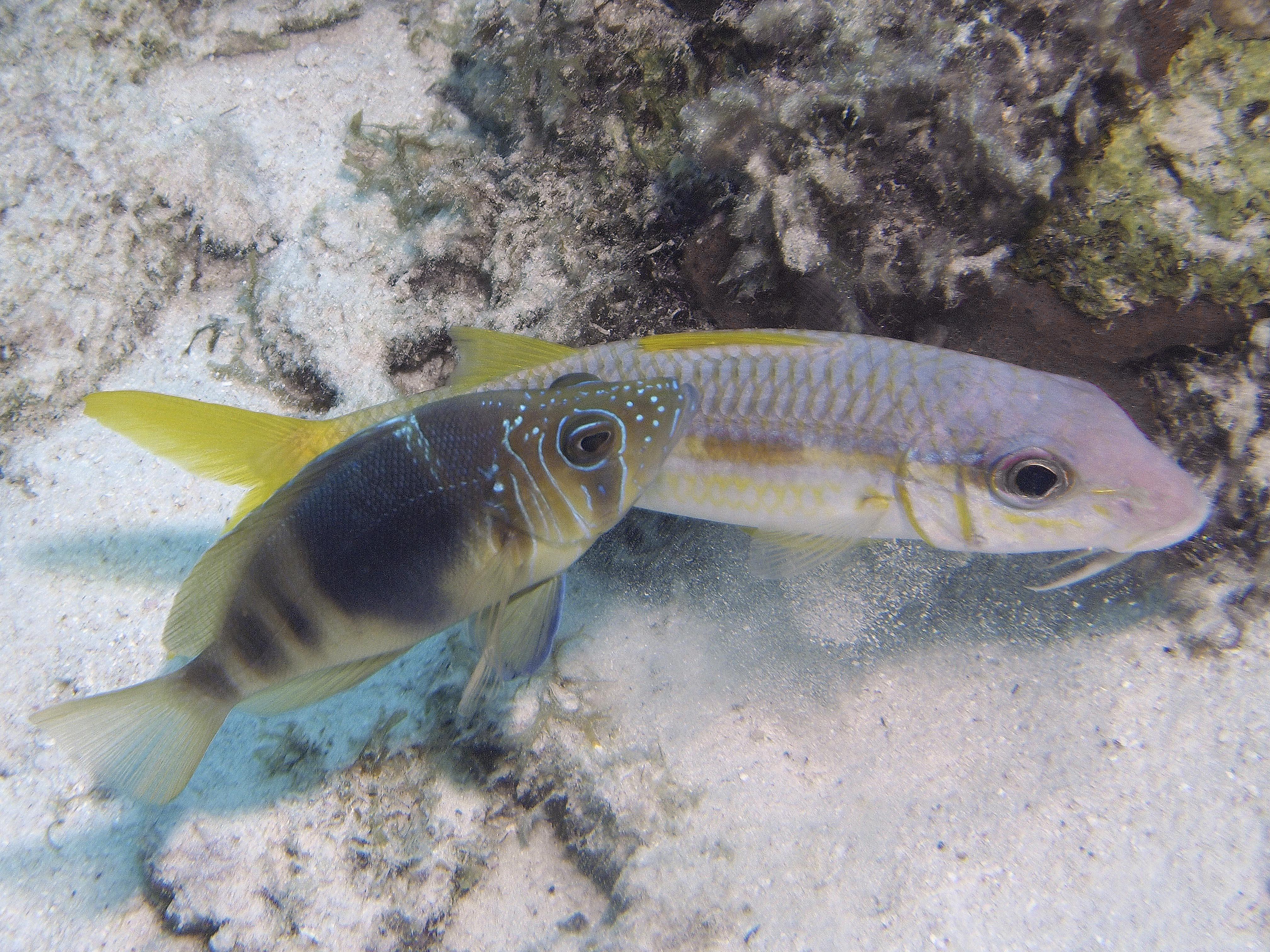 (Bruinband) Hamletbaars en gele zeebarbeel, Bonaire 15 november 2016